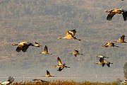 a large flock of Common crane (Grus grus) Silhouetted at dawn. Photographed in the Hula Valley, Israel, in January