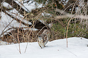 Red-phased Ruffed grouse in winter habitat