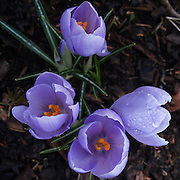 A macro photograph of four blossoming purple Crocus wet with dew in Central Park, New York City.