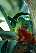 Als Allesfresser ernähren sich Löwenäffchen unter anderem auch von Insekten, die sie in der Vegetation aufspüren. | Feeding on a variety of small animals and plant parts the Golden Lion Tamarin regularly eats insects that they find in the vegetation.