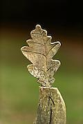 Oakwood carved oak leaf Bolderwood Arboretum Ornamental Drive in Lyndhurst (county of Hampshire), England | In Eichenholz geschnitztes Eichenblatt. Lyndhurst (county of Hampshire), England