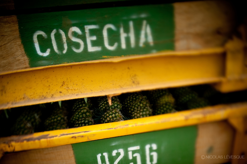 Monocultures d'ananas de la multinationale Del Monte. Buenos Aires, Costa Rica 2010.