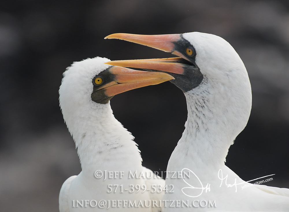 2 adult Nazca boobies on Española island in the Galapagos archipelago of Ecuador.