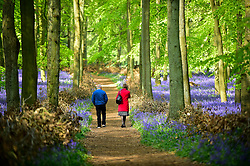 © Licensed to London News Pictures. 30/04/2019. ASHRIDGE, UK. A couple enjoy the bluebells bloom in Dockey Wood, Hertfordshire.  As the popular location experiences high numbers of visitors, the National Trust has imposed an entrance fee in recent years during busy periods with barricades of twigs and branches to demarcate pathways to protect the delicate flowers from being trampled.  Photo credit: Stephen Chung/LNP