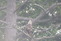 Fledgling Bald Eagle, Orcas Island (Haliaeetus leucocephalus), San Juan Islands, Washington, US