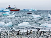 "Gentoo Penguins (Pygoscelis papua) emerge from iceberg bejeweled waters of the Southern Ocean to waddle to their summer colony on Cuverville Island, Antarctica. An adult Gentoo Penguin has a bright orange-red bill and a wide white stripe extending across the top of its head. Chicks have grey backs with white fronts. Of all penguins, Gentoos have the most prominent tail, which sweeps from side to side as they waddle on land, hence the scientific name Pygoscelis, ""rump-tailed."" As the the third largest species of penguin, adult Gentoos reach 51 to 90 cm (20-36 in) high. They are the fastest underwater swimming penguin, reaching speeds of 36 km per hour. The rocky Cuverville Island is in Errera Channel off the west coast of Graham Land, the north portion of the Antarctic Peninsula. The island was discovered by the Belgian Antarctic Expedition (1897-1899) under Adrien de Gerlache, who named it for J.M.A. Cavelier de Cuverville (1834-1912), a vice admiral of the French Navy. Cuverville Island or Île de Cavelier de Cuverville is located at 64 degrees 41 minutes South Latitude and 62 degrees 38 minutes West Longitude."