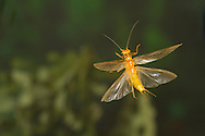 Stonefly (Perlesta sp.) flying<br /> ALABAMA: Tuscaloosa Co.<br /> Tulip Tree Springs off Echola Rd.; Elrod<br /> 30-May-2016<br /> J.C. Abbott #2823 &amp; K.K. Abbott