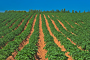 Rows of potatoes in red soil <br />