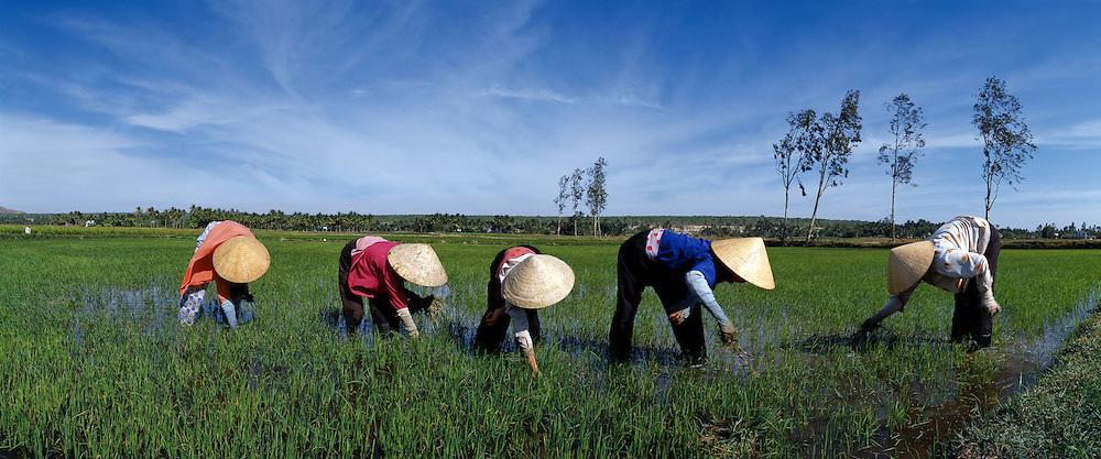 Women working in a ricefield in Vietnam
