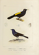 hand coloured sketch Top: mountain cacique (Cacicus chrysonotus)  [Here as Cassicus chrysonotus]) Bottom: shiny cowbird (Molothrus bonariensis) [Here as icterus maxillaris]) From the book 'Voyage dans l'Amérique Méridionale' [Journey to South America: (Brazil, the eastern republic of Uruguay, the Argentine Republic, Patagonia, the republic of Chile, the republic of Bolivia, the republic of Peru), executed during the years 1826 - 1833] 4th volume Part 3 By: Orbigny, Alcide Dessalines d', d'Orbigny, 1802-1857; Montagne, Jean François Camille, 1784-1866; Martius, Karl Friedrich Philipp von, 1794-1868 Published Paris :Chez Pitois-Levrault et c.e ... ;1835-1847
