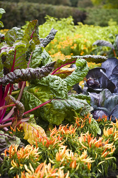 Rainbow chard, purple cabbage and multi-colored chilies in a potager,  an ornamental and edible kitchen garden.