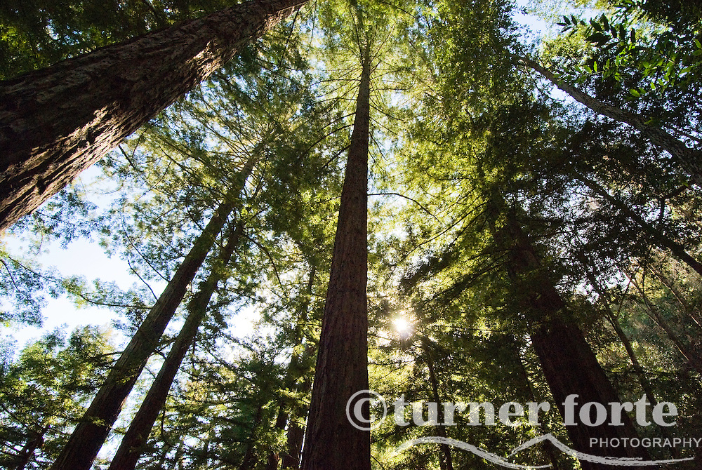 Sprawling Redwoods on the Pine Ridge Trail, Big Sur, California.