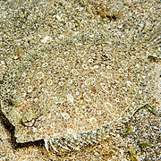 Eyed Flounder inhabit sand, rubble and areas mixed with sea grasses, often near patch reefs in Tropical West Atlantic; picture taken St. Vincent.