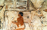 Milking a cow. Mastaba (tomb) of Methethi, c2371-2350 BC, Old Kingdom: Sakkara (Saqqara)