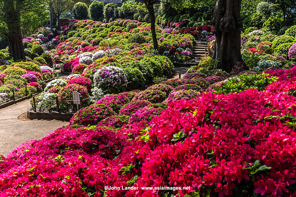 Nezu shrine azalea garden john lander photography for Garden and its importance