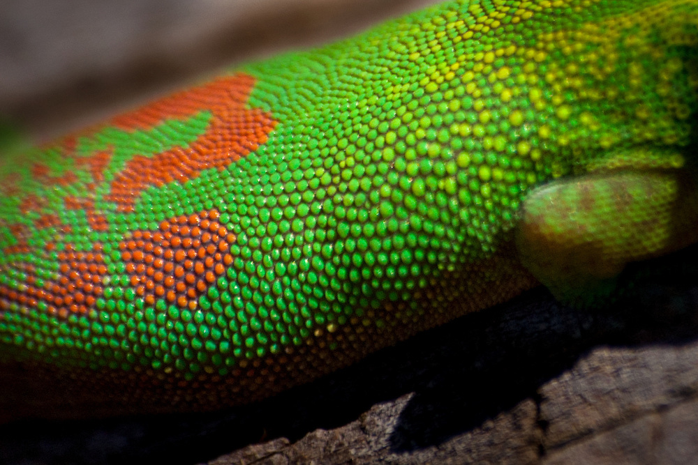 Patterns on the body of a giant Madagascan day gecko (Phelsuma madagansceriensis madagansceriensis).