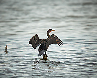 Double-crested Cormorant drying its wings. Biolab Road, Merritt Island National Wildlife Refuge. Image taken with a Nikon D3x camera and  600 mm f/4 VR lens (ISO 200, 600 mm, f/4, 1/800 sec).
