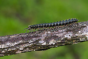 Tractor millipede, family Platyrhacidae (possibly Barydesmus sp.) photographed in Deramakot Forest Reserve, Sabah, Borneo.