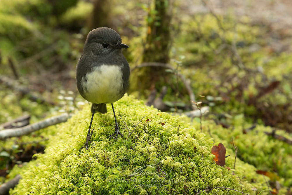 A South Island Robin keeps a keen eye on insects upturned from hiker's footsteps, along the Milford Track.