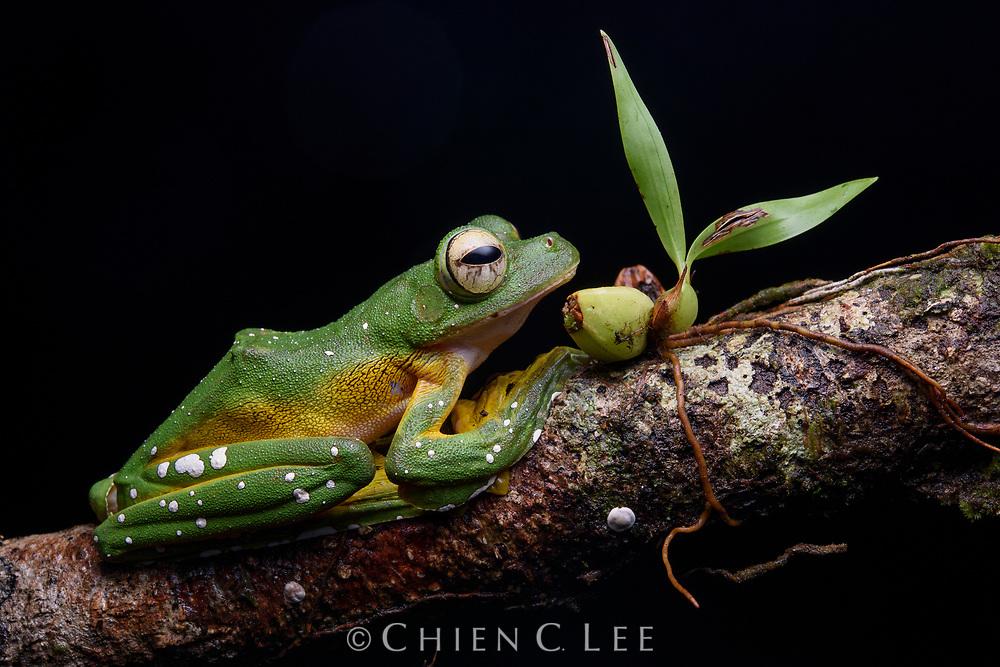 Wallace's Flying Frog (Rhacophorus nigropalmatus). Sarawak, Malaysia.