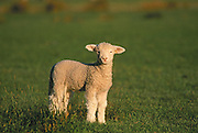 Lamb in pasture (sheep breed is Romney); Wharekauhau Lodge and sheep ranch, Palliser Bay, New Zealand.