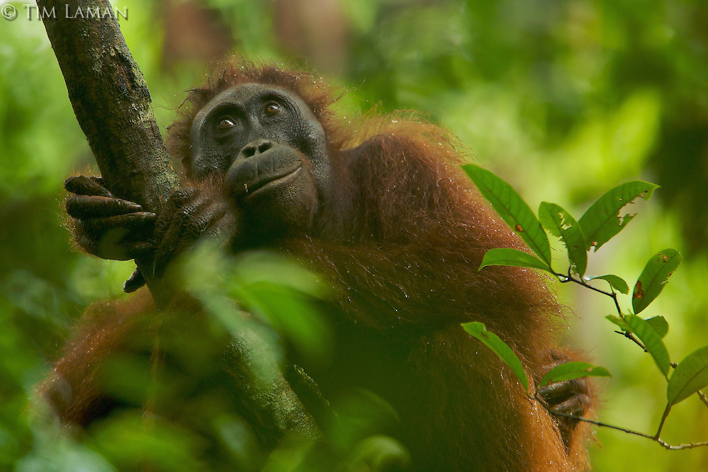 Adult female Bornean Orangutan (Pongo pygmaeus) resting on a large vine in the wild in Gunung Palung National Park, Borneo.