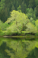 Lush spring foliage along the North Fork Smith River Oregon