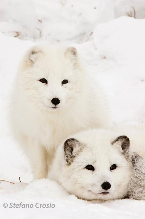 USA, Kalispell (MT).Arctic foxes (Alopex lagopus) (C)