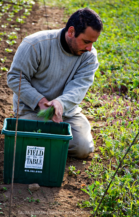 Alvaro Venturelli harvests baby kale at Plan B Organic Farms in Ontario, Canada.
