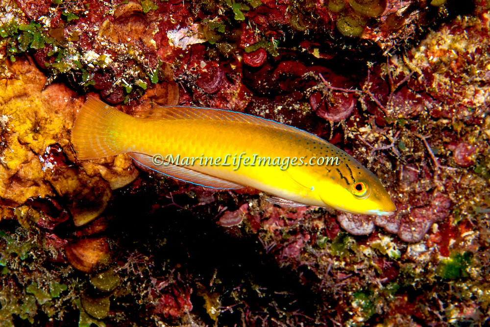 Yellowhead Wrasse consatantly swim about reefs in Tropical West Pacific; picture taken St. Vincent.