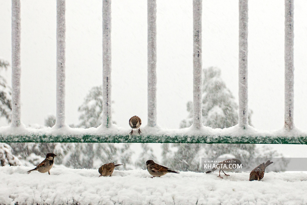 Common sparrows eating rice thrown by a shopkeeper at Jakhu, as it snows in Shimla, Himachal Pradesh