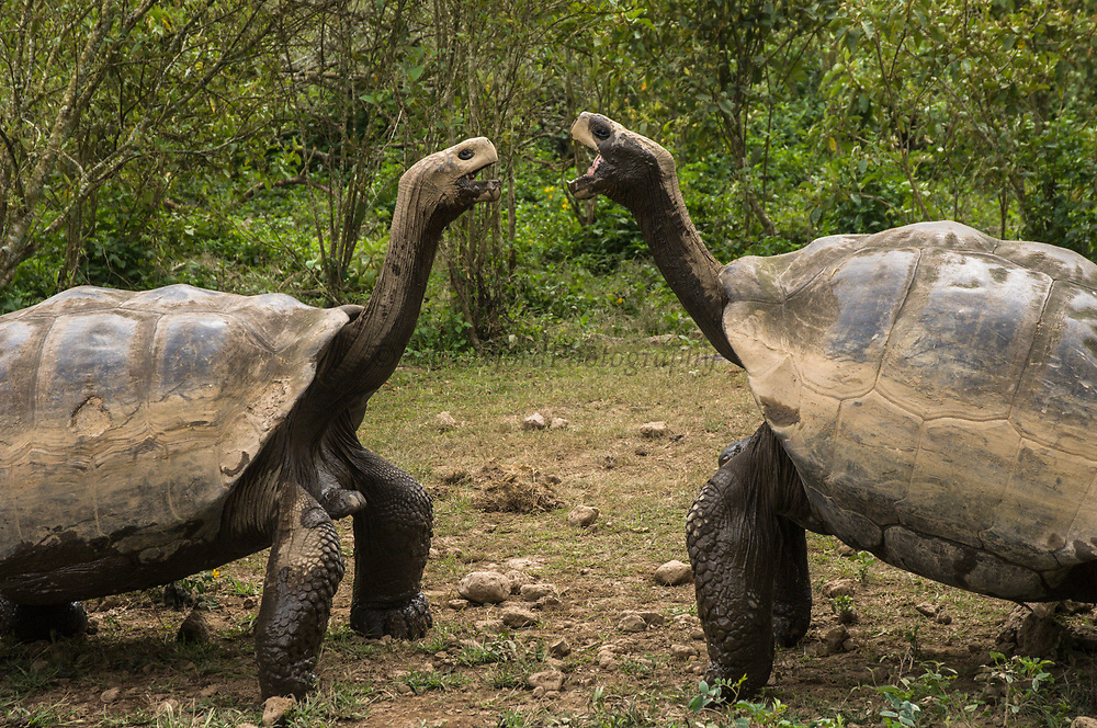 Galapagos Giant Tortoises (Geochelone elephantophus vandenburghi) aggression<br /> Alcedo Volcano crater floor, Isabela Island<br /> GALAPAGOS ISLANDS<br /> ECUADOR.  South America<br /> One of 11 sub-species survising in the islands. This is an example of the dome-shaped sub-species. Alcedo hosts over half the 15,000 tortoises left in Galapagos. All tortoises were heavy hunted for food in the past. Dome-shaped males are double the size of the females. Males stay mainly in the highlands while females migrate towards the coast when they need to lay eggs.
