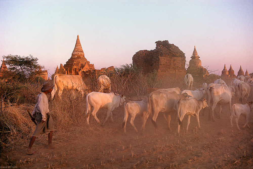 — Amidst the ancient ruins of Bagan, a shepherd herds his cattle and drives them to another pasture before nightfall.