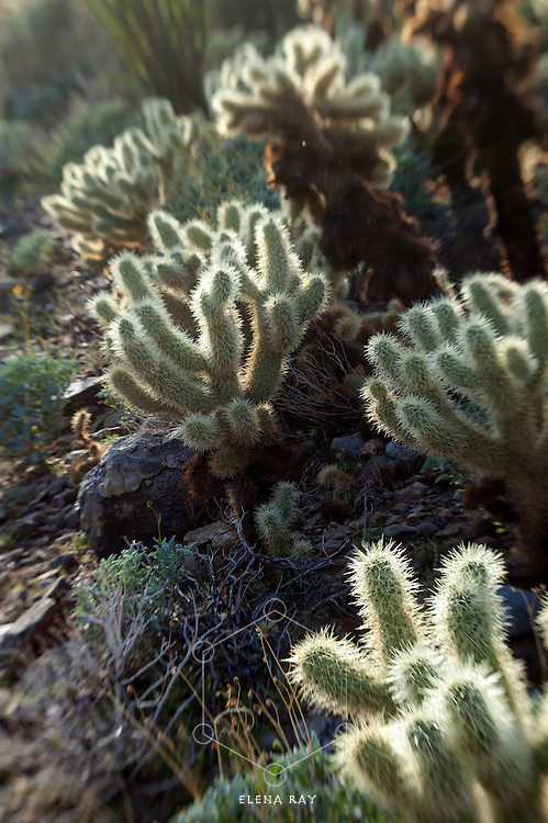 Photograph of Cholla cactus in the desert.