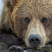 Brown bear lying on beach;  Lake Clark, Alaska .