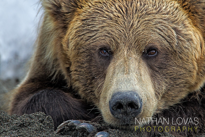 Brown bear lying on beach;  Lake Clark, Alaska .
