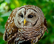 The barred owl (Strix varia) is a large typical owl native to North America. Best known as the hoot owl for its distinctive call, it goes by many other names, including eight hooter, rain owl, wood owl, and striped owl.