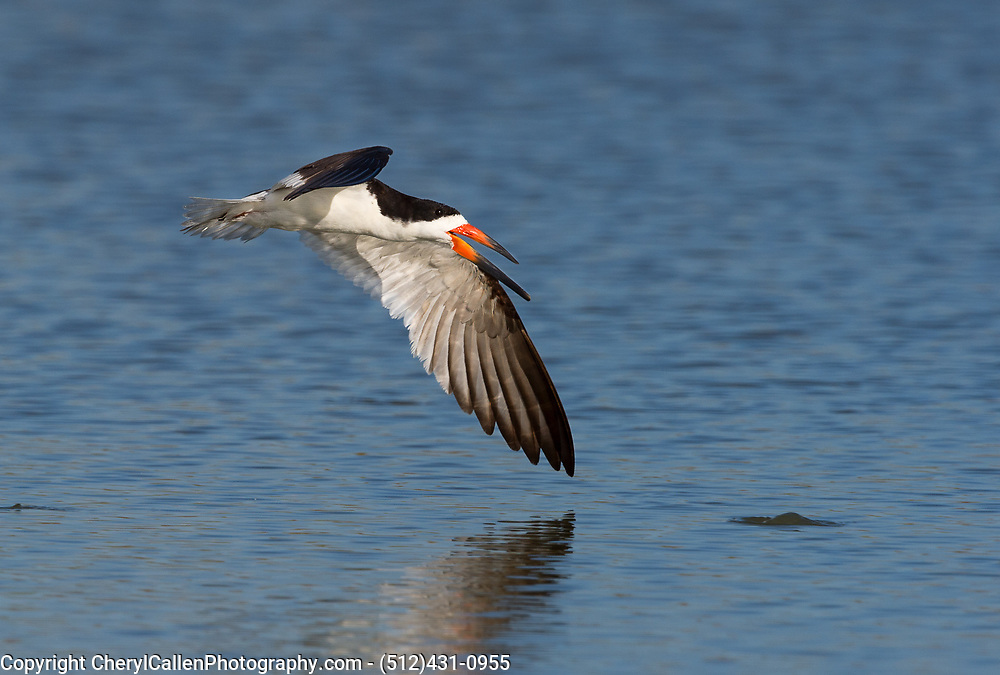 Black Skimmer almost touching wing to water