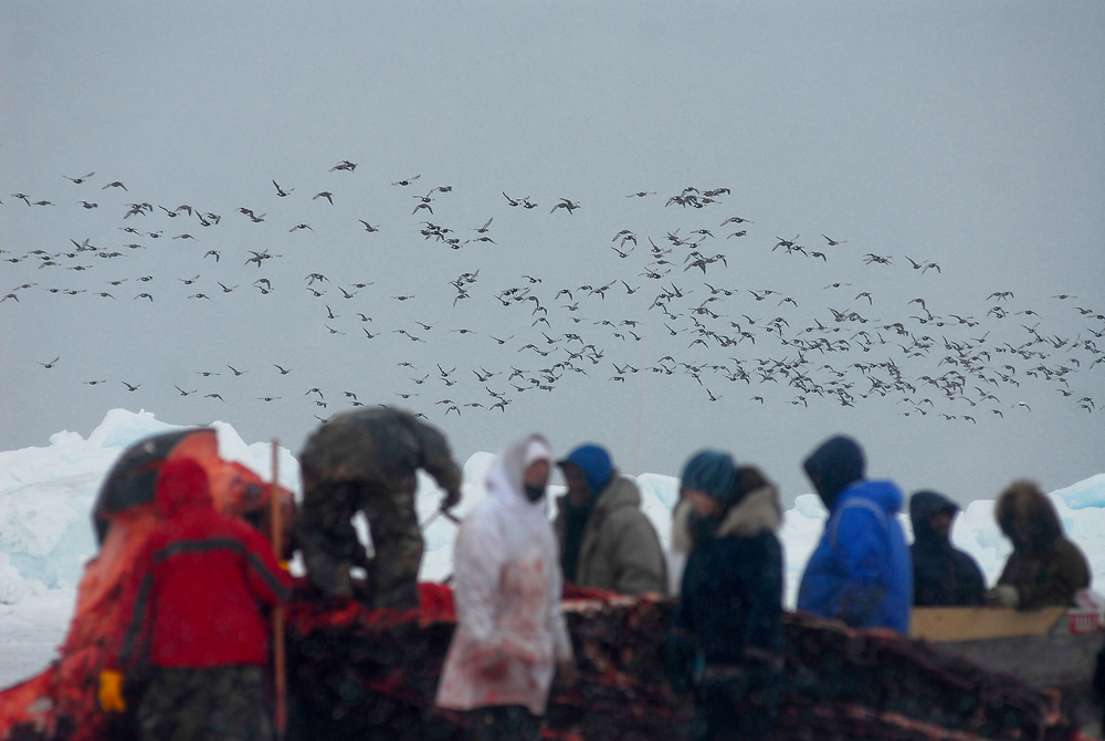 Barrow, Alaska. A big flock of King Eider ducks fly by a whaling camp where Patkotak crew is butchering a whale.  May 2007.