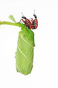[captive] Hazel Leaf-roller Weevil (Apoderus coryli) Westensee, Germany | Das große Haselblatt ist nun ein perfekt gewickeltes Paket geworden. Die befruchteten Eier dieses Haselblattroller-Paares (Apoderus coryli) werden sich darin entwickeln und die Larven im Schutz der vielen Schichten das Innere der Rolle verspeisen.