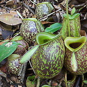 Pitcher Plants Gallery
