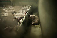 A pig with its paws broken is left to die just outside the stockyard, without food or water. Pitiless life of a 'production unit'.