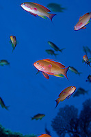 Male Threadfin Anthias in full color display