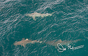 Three Blacktip reef sharks swims below the surface in the Pacific Ocean near the Galapagos islands.