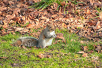 A western gray squirrel forages among last Fall's leaves on a cold winter morning in Western Washington.