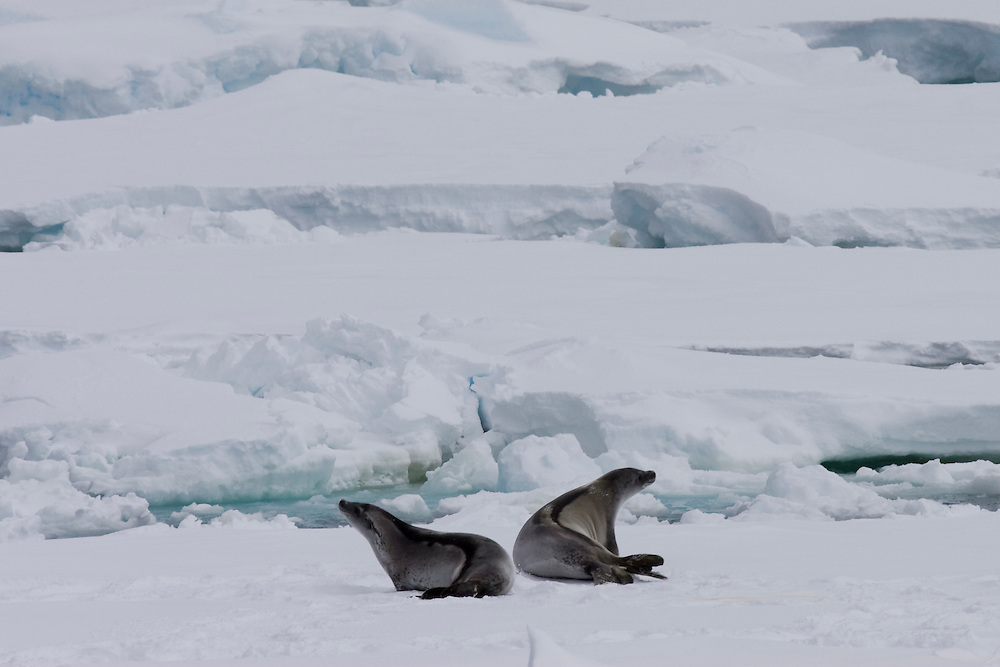 February 19th 2007. Ross Sea. Southern Ocean. Crabeater Seals (Lobodon carcinophaga) rest atop sea ice in the Ross Sea.