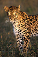Leopard .Sabi Sand.South Africa