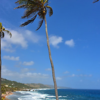 Palm Trees Along Bathsheba Beach in Bathsheba, Barbados<br />