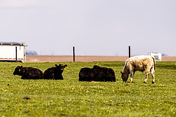 Cattle in a small pasture in Central Illinois
