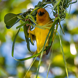 Tecelão-do-cabo (Ploceus capensis) fotografado na África do Sul. Registro feito em 2019.<br /> ⠀<br /> ⠀<br /> <br /> <br /> <br /> <br /> ENGLISH: Cape weaver  photographed in South Africa. Picture made in 2019.